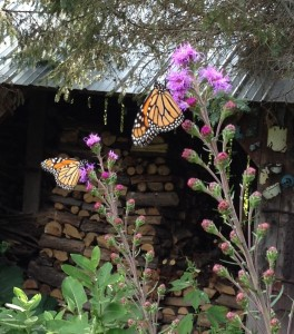 Monarchs on Meadow Blazingstar